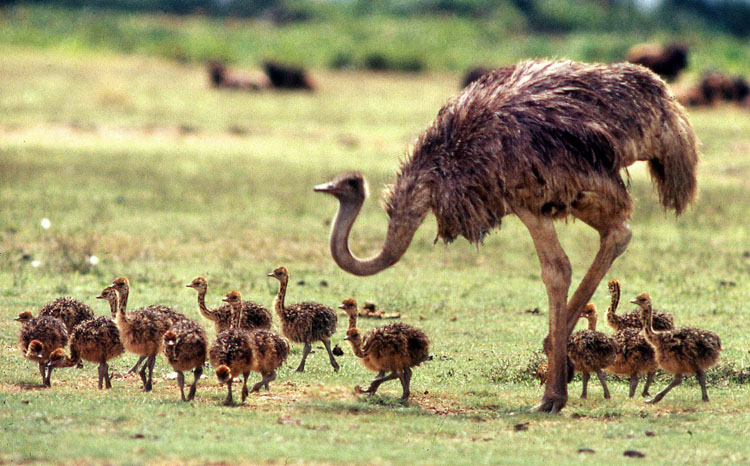 Ostrich (Struthio camelus) mother and chicks